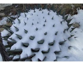 耐寒仙人掌 Cold Hardy Cactus