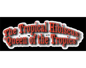 热带芙蓉 Tropical Hibiscus