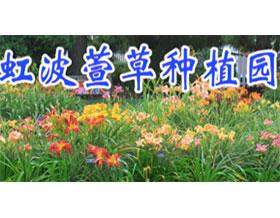 虹波萱草种植园