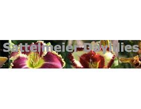 Mark Sattelmeier的萱草, Daylilies by Mark Sattelmeier