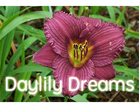 萱草梦想 ,Daylily Dreams