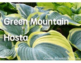绿色山脉玉簪苗圃, Green Mountain Hosta Nursery