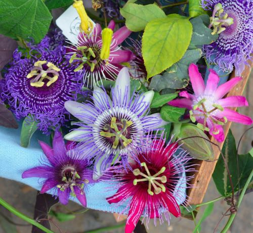 Passiflora 西番莲