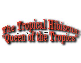 """热带芙蓉 ,The Tropical Hibiscus """"Queen of the Tropics"""""""