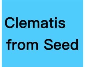 来自种子的铁线莲 Clematis from Seed