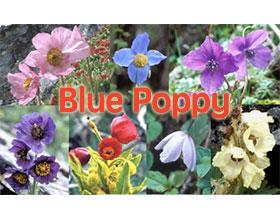 日本蓝色罂粟(绿绒蒿)协会图片网 Blue Poppy Society Japan Blue Poppy Photogallery