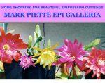 美国Mark Piette Epi Galleria昙花苗圃