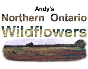 安迪的北安大略野花 Andy's Northern Ontario Wildflowers