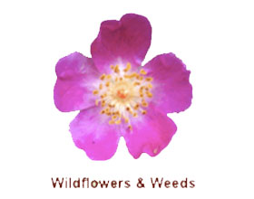 野花和野草网 Wildflowers-and-Weeds.com