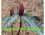 延龄草网 Trillium