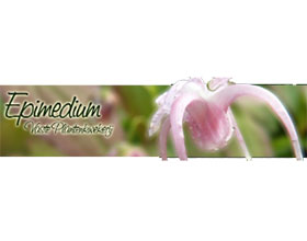 荷兰淫羊藿苗圃 Epimedium