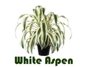 """龙血树属""""白杨White Aspen""""被选为2019年度热带植物产业展览会最佳植物"""