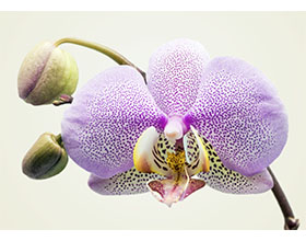 美国兰花的类型:视觉纲要 Types of Orchids: A Visual Compendium