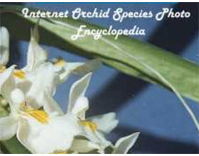 兰花品种图片网络百科全书 Internet Orchid Species Photo Encyclopedia