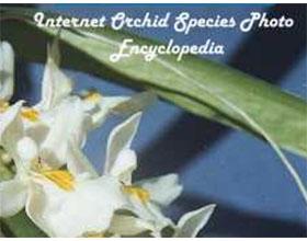 兰花品种图片网络百科全书 Internet Orchid Species Photo Encyclopedia