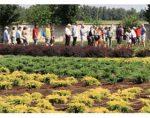 叶缘焦枯病-欧洲苗圃目前面临的最严重威胁 Xylella fastidiosa