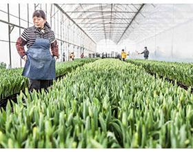 生产第一–荷兰范登堡玫瑰公司在中国
