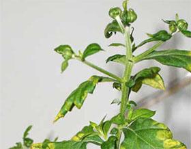 植物病毒的世界:好的、坏的和美丽的