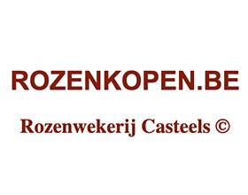 荷兰Casteels Rozen玫瑰苗圃