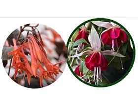 英国莫尔坎贝区倒挂金钟协会 Morecambe & District Fuchsia Society