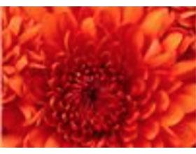 英国威伦霍尔菊花协会Willenhall Chrysanthemum Society