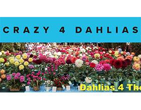 美国疯狂大丽花苗圃 Crazy 4 Dahlias