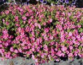 LVG Heidelberg筛选耐旱花坛植物排行