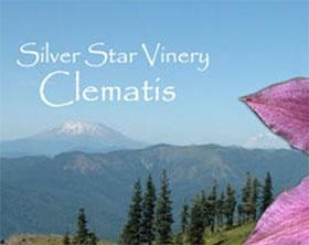 美国银星藤铁线莲苗圃 Silver Star Vinery Clematis