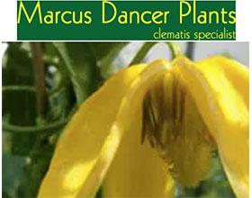 英国马库斯舞者植物 Marcus Dancer Plants